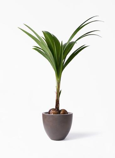 観葉植物 ココヤシ 10号 エルム ラウンド ブラウン 付き