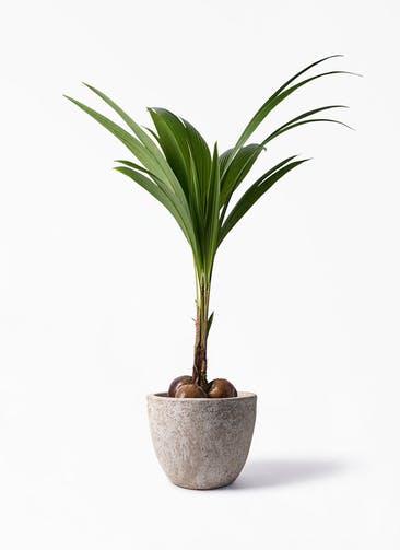 観葉植物 ココヤシ 10号 アビスソニア ラウンド 付き