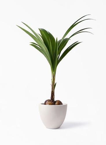 観葉植物 ココヤシ 10号 エルム ラウンド ベージュ 付き