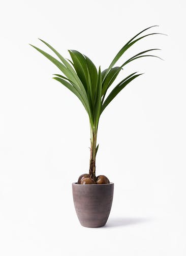 観葉植物 ココヤシ 10号 コーテス ラウンド ブラウン 付き