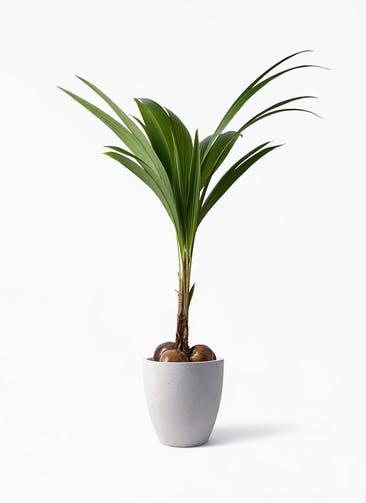 観葉植物 ココヤシ 10号 コーテス ラウンド ベージュ 付き