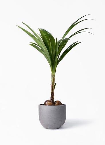 観葉植物 ココヤシ 10号 コンカー ラウンド 付き