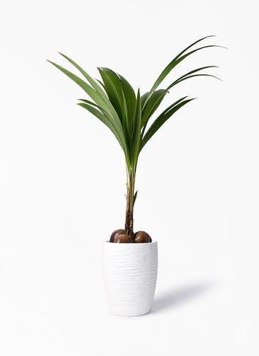 観葉植物 ココヤシ 10号 サン ミドル リッジ 白 付き