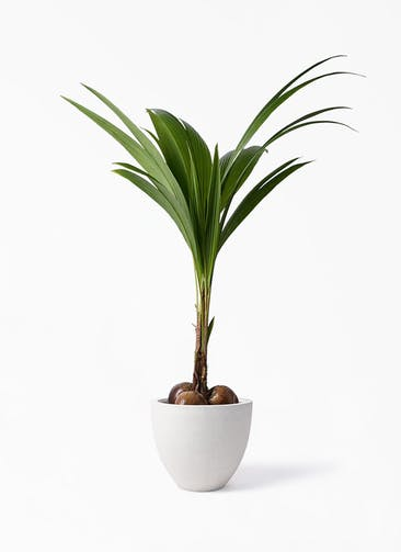 観葉植物 ココヤシ 10号 スタウト アッシュラウンド  付き