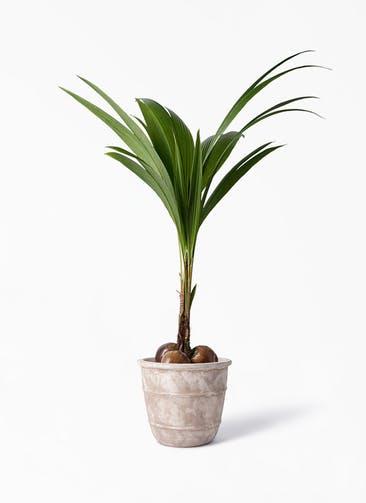 観葉植物 ココヤシ 10号 テラアストラ シリウス 付き
