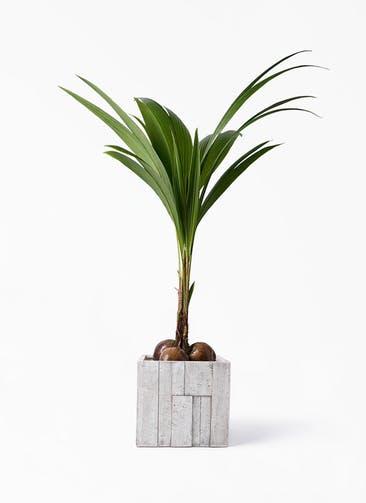 観葉植物 ココヤシ 10号 パターン キューブ 付き