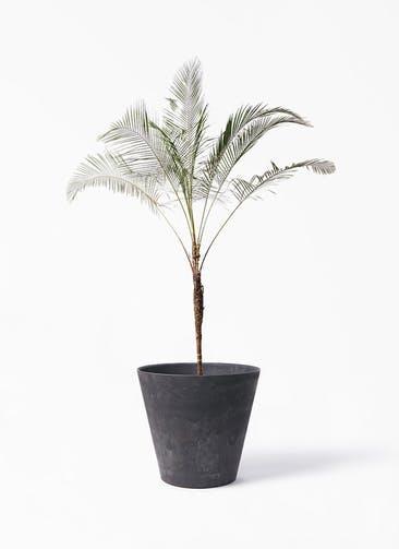 観葉植物 ヒメココス 10号 アートストーン ラウンド ブラック 付き
