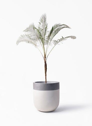 観葉植物 ヒメココス 10号 バルゴ ツートーン  サンディホワイト 付き