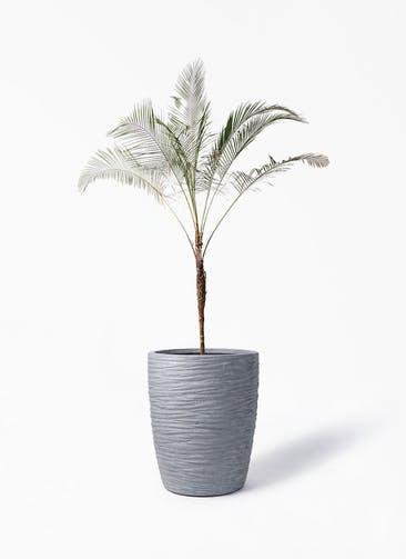 観葉植物 ヒメココス 10号 サン ミドル リッジ 灰 付き