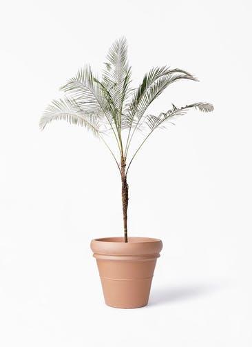 観葉植物 ヒメココス 10号 トスカーナ リムポット 付き