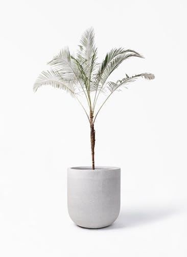 観葉植物 ヒメココス 10号 バルゴ モノ ライトグレー 付き