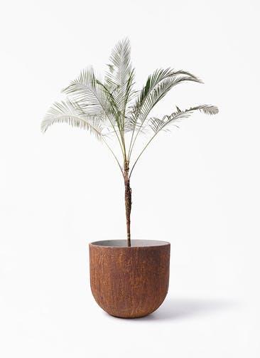 観葉植物 ヒメココス 10号 バル ユーポット ラスティ  付き