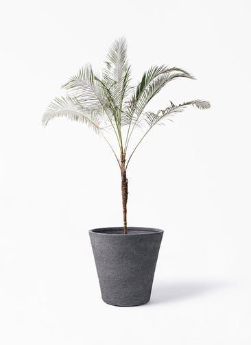 観葉植物 ヒメココス 10号 ビアスソリッド ブラック 付き