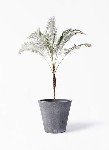観葉植物 ヒメココス 10号 フォリオソリッド ブラックウォッシュ 付き
