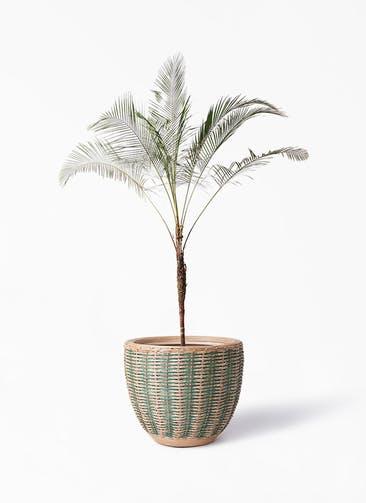 観葉植物 ヒメココス 10号 マラッカ ダイドグリーン 付き