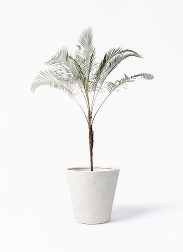 観葉植物 ヒメココス 10号 ビアスソリッド アイボリー 付き