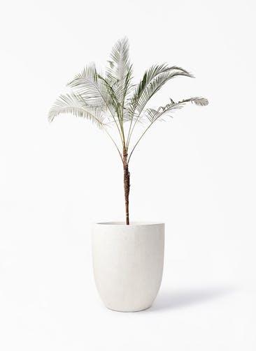観葉植物 ヒメココス 10号 フォリオアルトエッグ クリーム 付き