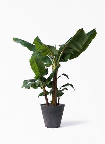 観葉植物 三尺バナナ 10号 アートストーン ラウンド ブラック 付き