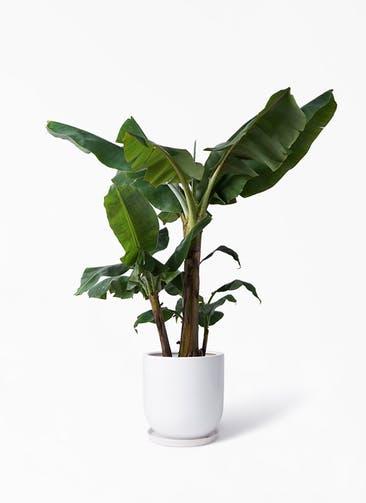 観葉植物 三尺バナナ 10号 アファール 白 付き