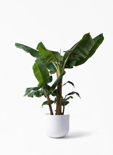 観葉植物 三尺バナナ 10号 アユラニ ライレイ 付き