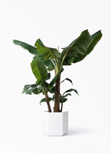 観葉植物 三尺バナナ 10号 コーテス ヘックス ホワイトテラゾ 付き