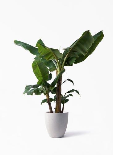 観葉植物 三尺バナナ 10号 コーテス ラウンド ベージュ 付き