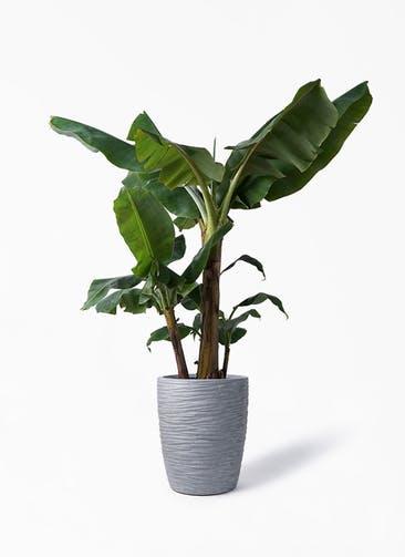 観葉植物 三尺バナナ 10号 サン ミドル リッジ 灰 付き