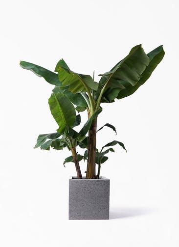 観葉植物 三尺バナナ 10号 キューブ ラテルストーン 付き