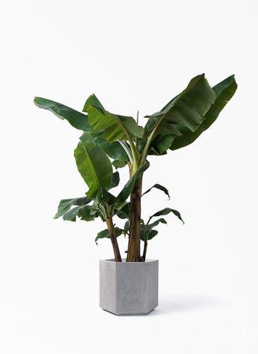 観葉植物 三尺バナナ 10号 コーテス ヘックス 灰 付き