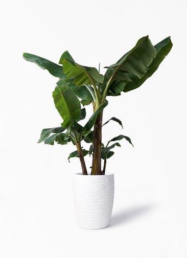 観葉植物 三尺バナナ 10号 サン ミドル リッジ 白 付き