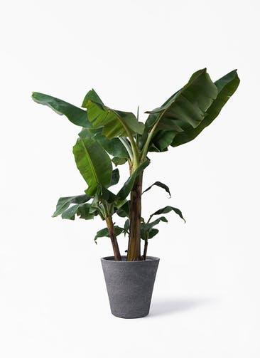 観葉植物 三尺バナナ 10号 ビアスソリッド ブラック 付き