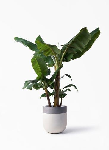 観葉植物 三尺バナナ 10号 バルゴ ツートーン  サンディホワイト 付き