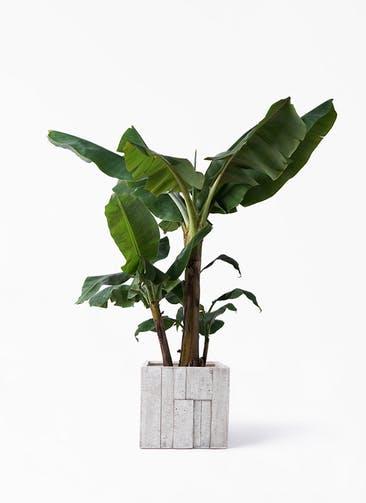 観葉植物 三尺バナナ 10号 パターン キューブ 付き