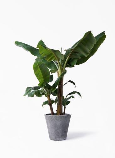 観葉植物 三尺バナナ 10号 フォリオソリッド ブラックウォッシュ 付き