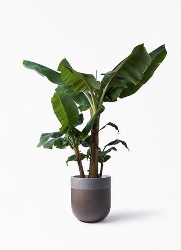 観葉植物 三尺バナナ 10号 バルゴ ツートーン マットブラウン 付き