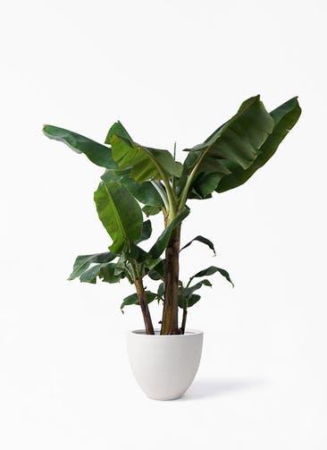 観葉植物 三尺バナナ 10号 スタウト アッシュラウンド  付き