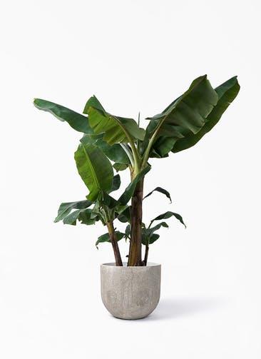 観葉植物 三尺バナナ 10号 バル ユーポット アンティークセメント 付き