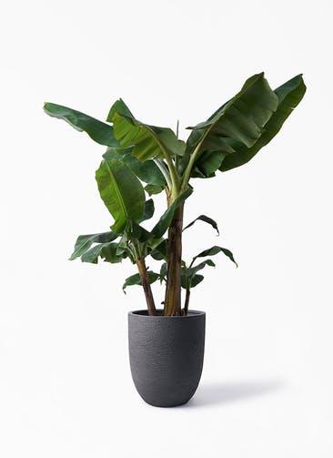 観葉植物 三尺バナナ 10号 ビアスアルトエッグ ブラック 付き