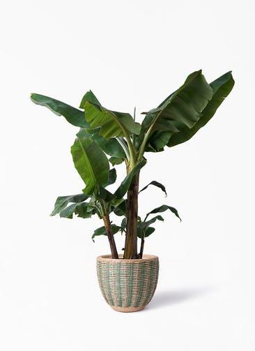 観葉植物 三尺バナナ 10号 マラッカ ダイドグリーン 付き