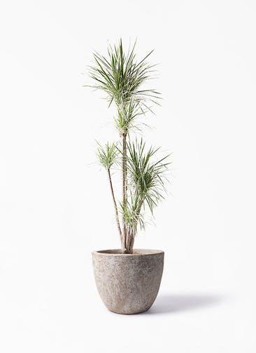 観葉植物 コンシンネ ホワイポリー 10号 ストレート アビスソニア ラウンド 付き