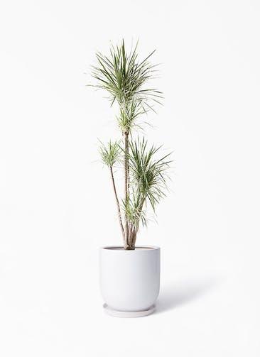 観葉植物 コンシンネ ホワイポリー 10号 ストレート アファール 白 付き