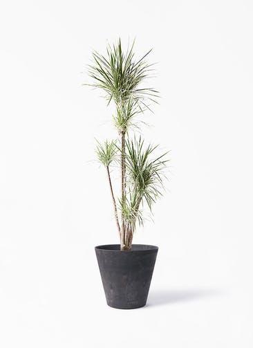 観葉植物 コンシンネ ホワイポリー 10号 ストレート アートストーン ラウンド ブラック 付き