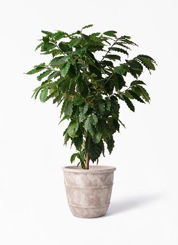 観葉植物 コーヒーの木 10号 テラアストラ シリウス 付き