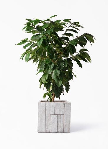 観葉植物 コーヒーの木 10号 パターン キューブ 付き