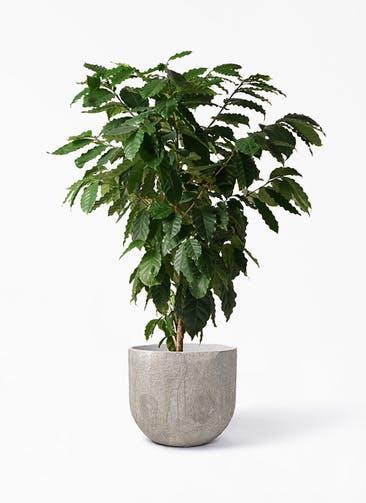 観葉植物 コーヒーの木 10号 バル ユーポット アンティークセメント 付き