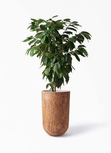 観葉植物 コーヒーの木 10号 バル トール ラスティ 付き