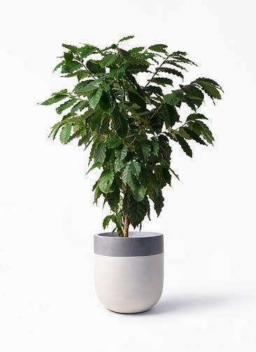 観葉植物 コーヒーの木 10号 バルゴ ツートーン  サンディホワイト 付き