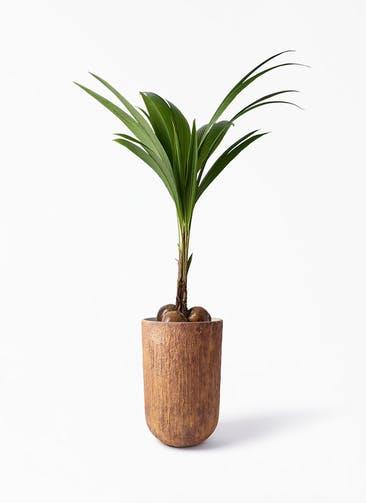 観葉植物 ココヤシ 10号 バル トール ラスティ 付き
