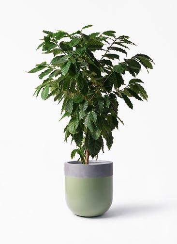 観葉植物 コーヒーの木 10号 バルゴ ツートーン 緑 付き