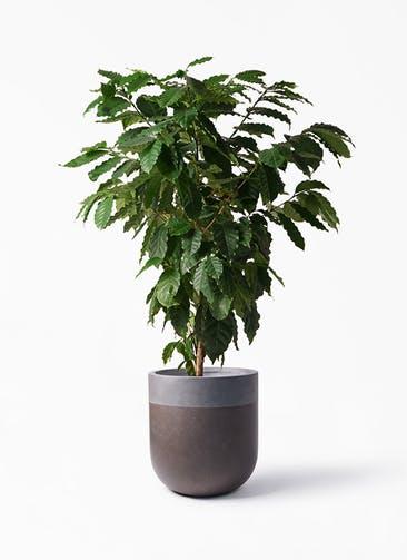 観葉植物 コーヒーの木 10号 バルゴ ツートーン マットブラウン 付き